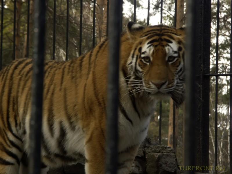 Новосибирский зоопарк: Уссурийский тигр, печально выглядывающий из-за решетки. (фотография №11)