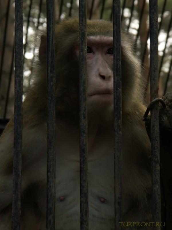 Новосибирский зоопарк: Большая обезьяна, выглядывающая между прутьев своей клети. (фотография №14)