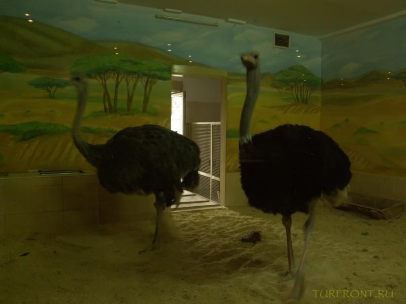 Новосибирский зоопарк: Парочка страусов, пугливо пялящаяся на посетителей через стекло своей клетки. (фотография №20)
