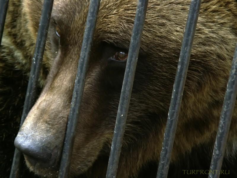 Новосибирский зоопарк: Печальный медведь высовывает нос между прутьев своей металлической клетки. (фотография №33)